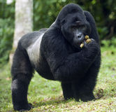 Mountain gorilla Royalty Free Stock Image