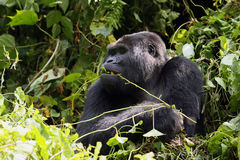 The mountain gorilla. Big male mountain gorilla Gorilla beringei beringei when eating the leaves and stems royalty free stock photo