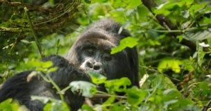 Mountain Gorilla (Black Back), Impenetrable Forest, Uganda. Mountain Gorilla (Black Back) Hides in the Impenetrable forest bushes in Western Uganda near the Stock Photography