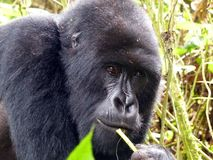 Mountain Gorilla. Close shot of female Mountain Gorilla taken in Rwanda East Africa August 2013 stock photo