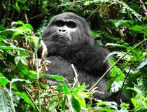 Gorilla in the cloud forest Royalty Free Stock Images