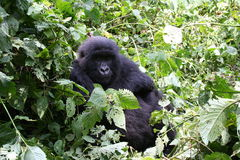 Mountain gorilla, Congo Royalty Free Stock Photography