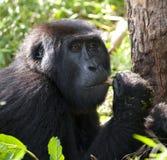 Mountain gorilla eating plants. Uganda. Bwindi Impenetrable Forest National Park. Stock Photo