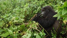 Mountain gorilla feeding in the forest Royalty Free Stock Photos