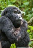 The mountain gorilla (Gorilla beringei beringei) Royalty Free Stock Images
