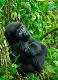 Mountain gorilla (Gorilla beringei beringei). Mountain gorilla posing thoughtfully in the Virunga reserve Royalty Free Stock Photos