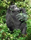 Mountain Gorilla in green vegetation Royalty Free Stock Photo