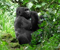 Mountain Gorilla in green vegetation royalty free stock image