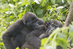 Mountain Gorilla Grooming another Gorilla Stock Photography