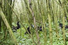 Mountain gorilla group in Volcanoes National Park, Virunga, Rwan. Group of mountain gorilla in bamboo forest of Volcanoes National Park, Virunga, Rwanda, Africa Royalty Free Stock Images