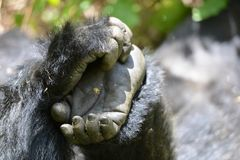 Mountain gorilla has an itch or two... stock image