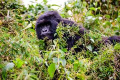 Mountain gorilla looking from its vantage point Stock Photography
