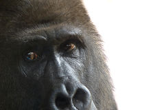 Mountain gorilla male observes the camera Stock Photography