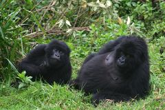 Mountain gorilla, rwanda Stock Photography