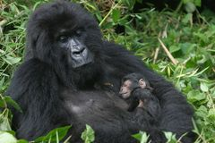 Mountain gorilla,rwanda Royalty Free Stock Photo