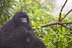 Mountain Gorilla's Royalty Free Stock Photos