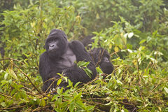 Mountain Gorilla's Royalty Free Stock Image