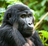 Mountain gorilla at a short distance in natural habitat. Stock Images