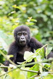The mountain gorilla sitting on the green bush Stock Photos
