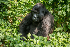 Mountain gorilla sitting in the leaves. Royalty Free Stock Photos