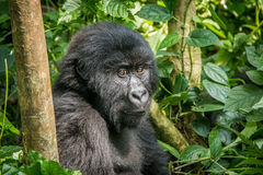 Mountain gorilla sitting in the leaves. Royalty Free Stock Photography