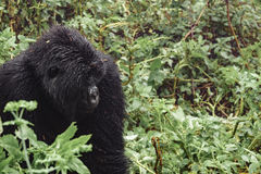 Mountain gorilla thinking in the forest Royalty Free Stock Photos