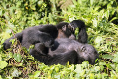 The mountain gorilla. Two young mountain gorillas Gorilla beringei beringei  blissfully are resting in the green forest Stock Images