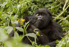 Mountain Gorilla Vegetarian Stock Images