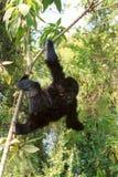 Mountain gorilla, Volcano National Park, Rwanda Royalty Free Stock Photography