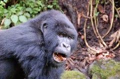 Mountain Gorilla. Wild mountain gorillas in Volcanoes National park (Park National des Volcans Royalty Free Stock Image