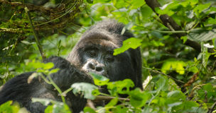 Mountain Gorilla (Black Back), Impenetrable Forest, Uganda Stock Photography