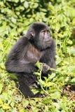 The mountain gorilla. Young mountain gorilla Gorilla beringei beringei sitting in the green forest Stock Photo