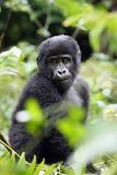 The mountain gorilla. Young mountain gorilla Gorilla beringei beringei sitting in the green forest Royalty Free Stock Images