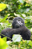 The mountain gorilla. Young mountain gorilla Gorilla beringei beringei sitting in the green forest stock images