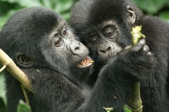 Mountain Gorillas. Two playing young mountain gorillas Stock Photography