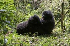 Mountain gorillas fighting in Volcanoes National Park, Virunga,. Fighting mountain gorillas in bamboo forest of Volcanoes National Park, Virunga, Rwanda, Africa Royalty Free Stock Image