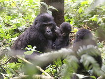 Gorilla Mother and Baby. A Mountain Gorilla mother and baby at Bwindi National Park in Uganda Royalty Free Stock Image