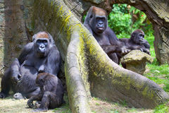 Mountain gorillas Stock Image
