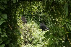 Mountain Gorillas Royalty Free Stock Photos