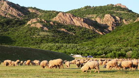Mountain grassland with grazing sheeps stock video footage