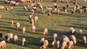 Mountain grassland with grazing sheeps stock footage