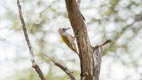 Mountain Gray Woodpecker Dendropicos spodocephalus Perched on a Tree Stock Photo