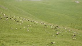 On the mountain graze white and black sheep in the summer stock video
