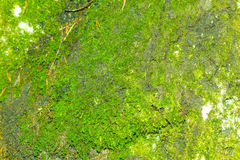 Mountain green moss. In the forest Royalty Free Stock Photo