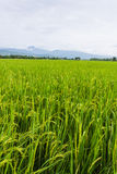 Mountain and green rice field in Thailand Royalty Free Stock Image