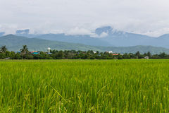 Mountain and green rice field in Thailand Royalty Free Stock Photography