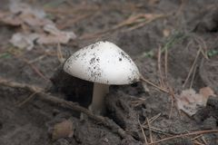 Mountain grisette agaric with a smooth perfect shape domed cap, Royalty Free Stock Image