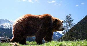 Mountain Grizzly Bear. A male grizzly bear and mountain background Stock Image