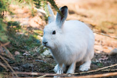 Mountain Hare Stock Image