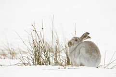 The mountain hare